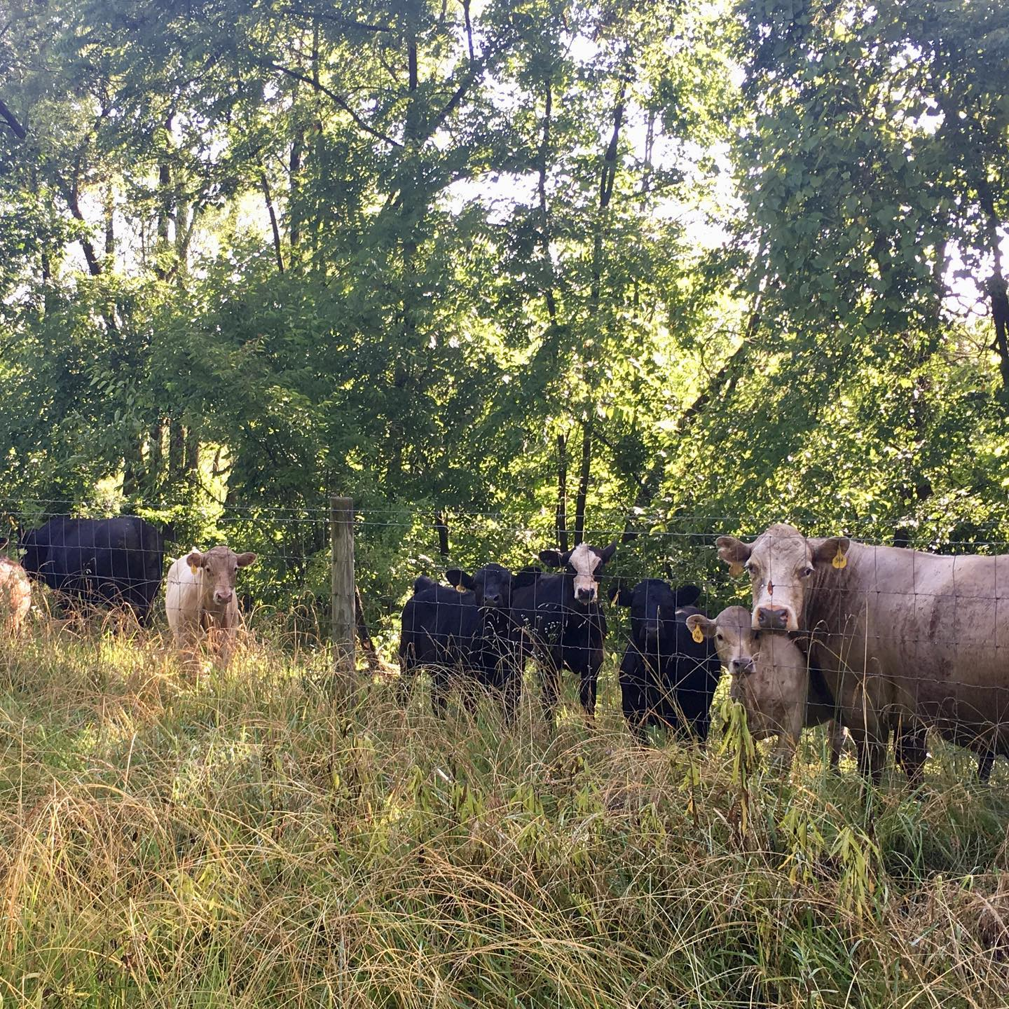 Had some friends on my run today. #cows #gusthelab #summer #countryliving