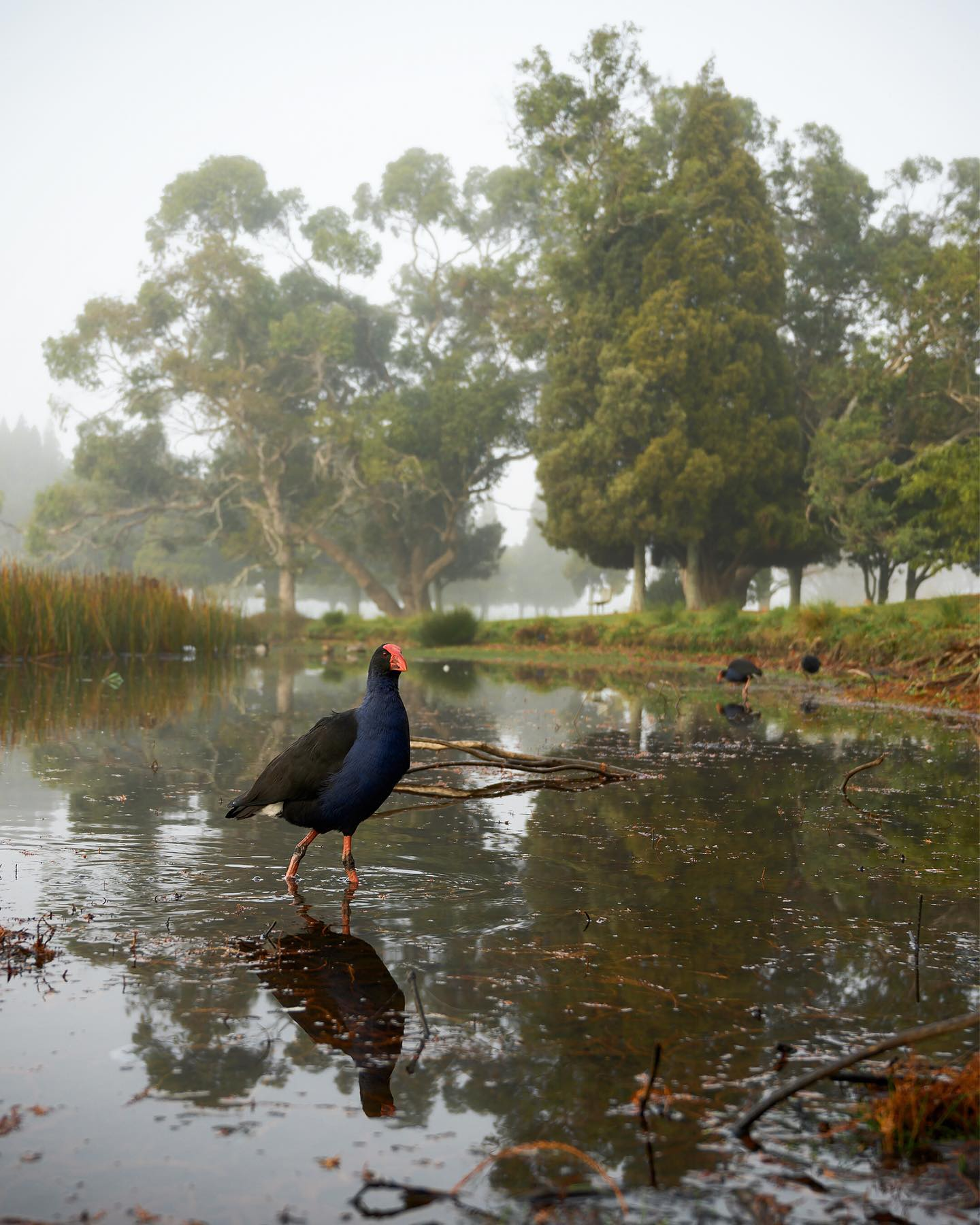 The Pukeko - aka the Swamp Hen - is very abundant and widespread throughout New Zealand. They live in permanent social groups where all eggs are laid in a single nest and the offsprings are raised by all group members. This shot was taken on a cold and foggy morning on Lake Rotorua - Hamilton. . . . . . #adventure #explore #newzealand #nouvellezelande #nzmustdo #purenewzealand #nature #nztravel #travelnz #nzgeo #nikonnz #voyage #grabaseatbestnz #newzealandguide #waikato #ig_newzealand #earth_shotz #lakerotoroa #hamiltoncity #pukeko #nznativebirds #nznative #mightywaikato #reflectionphotography #hamiltoncitynz