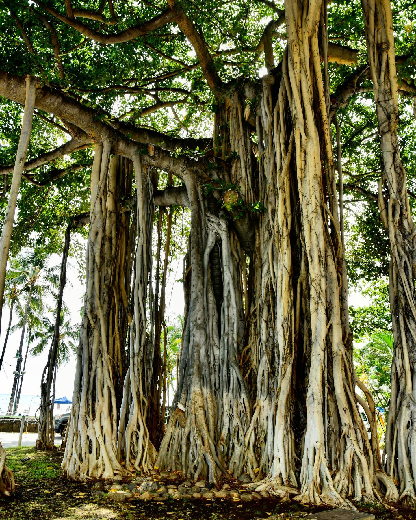 Banyan Tree Waikiki Beach, Honolulu, Oahu #usa🇺🇸 #usatravel #hawaii #hawaiilife #oahu #oahuhawaii #honolulu #honolulugram #nature #naturephotography #naturelovers #natur #banyantree #treephotography #traveltheusa #travelphotography #travelgram #travelpics #travelblogger #travelblog #usablogger #usablog #beautifulhawaii #hawaiinature #hawaiitravel #hawaiinature #waikikibeach #waikiki