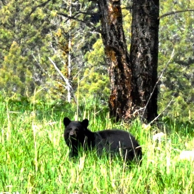 Black Bear, Yellowstone NP, Wyoming Not the best pic 🤷‍♀️, but a black bear🙌  #usatravels #usanationalparks #usroadtrip #wyoming #yellowstonenationalpark #wildlife #blackbear