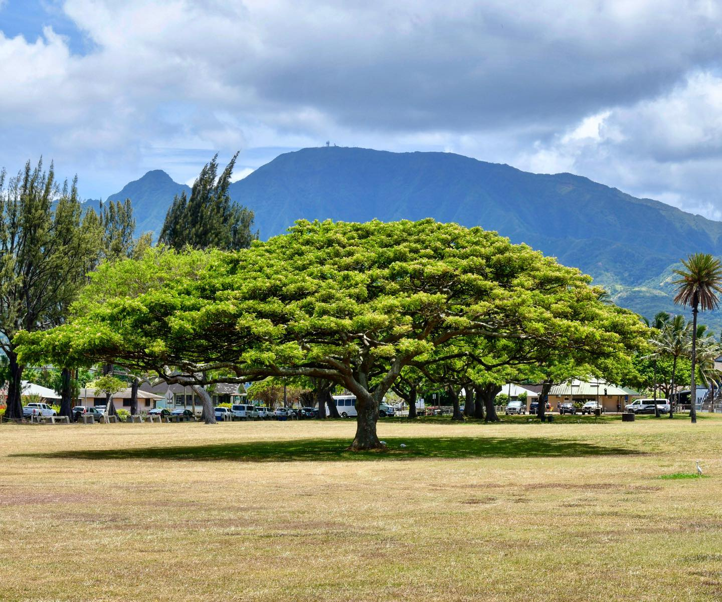 Haleiwa Ali'i Beach Park, Oahu, Hawaii Rain Trees, Banyan Trees... Oahu's trees are so beautiful. #usa #us #ustrip #ustravel #usatravel #usatrip #hawaii #oahu #oahuhawaii #travelphotography #reisefotografie #reiseliebe #travellover #nature #naturelovers #naturephotography #raintree #aliibeach #haleiwa #traveladdict #beautifultree #travelgram #hawaiigram #travelblog #travelblogger #reiseblog #reiseblogger #reiseblogger_de #instatravel