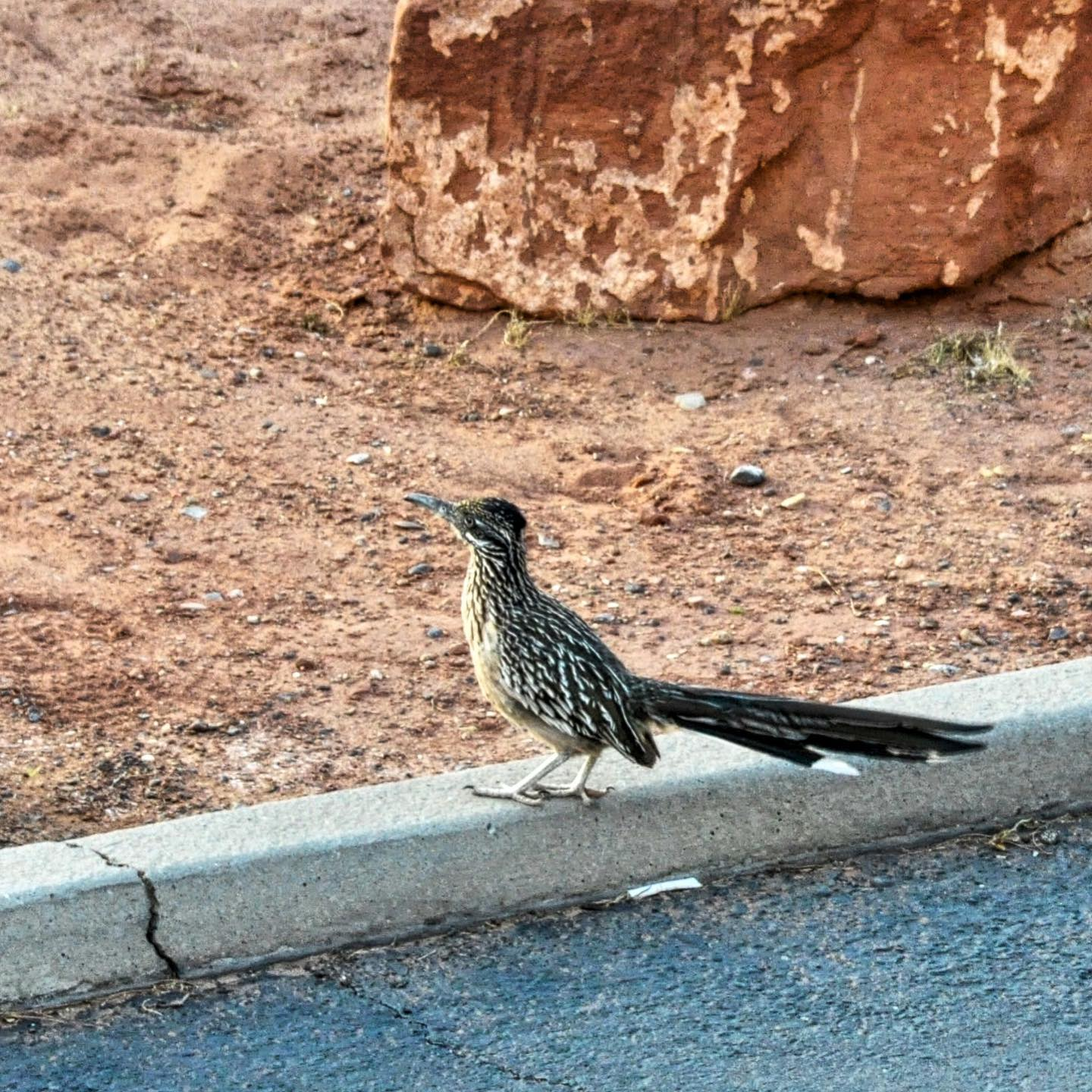 Roadrunner, Page, Arizona  When we saw a roadrunner for the first time, we totally freaked out. And yes, their speed is real. It was hard work to take a pic😉   #usatravel #usatravels #usatrip #usavacation #america #arizona #arizonawildlife #ig_arizona #arizonalove #arizonalife #roadrunner #southwestern #exploretheusa #birdsofinstagram #birds #birdphotography #travelpics #exploremore #exploretheworld #travelholic #traveladdict #travelamerica #picoftheday #birdsofamerica #travelgram #arizonagram
