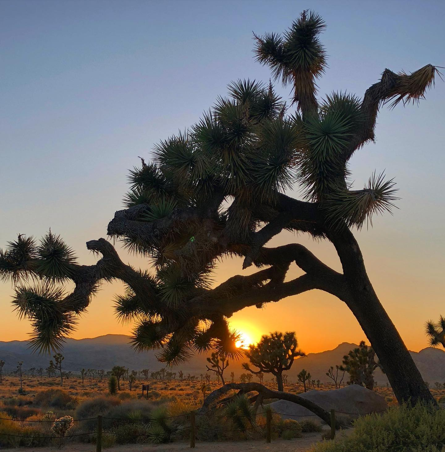 Joshua Tree NP, California Joshua Trees are so photogenic😉 #usa #us #usareisen #usatravel #usatravels #nationalparksusa #joshuatree #joshuatreenationalpark #california #californialove #sunsetphotography #sunset #desert #desertvibes #desertphotography #naturephotography #naturelovers #travelphotography #reisefotografie #travelgram #picoftheday #instagood #travelawesome #usaaddicted #usalove #usaliebe #californiablogger #travelblog #reiseblog #travelblogger
