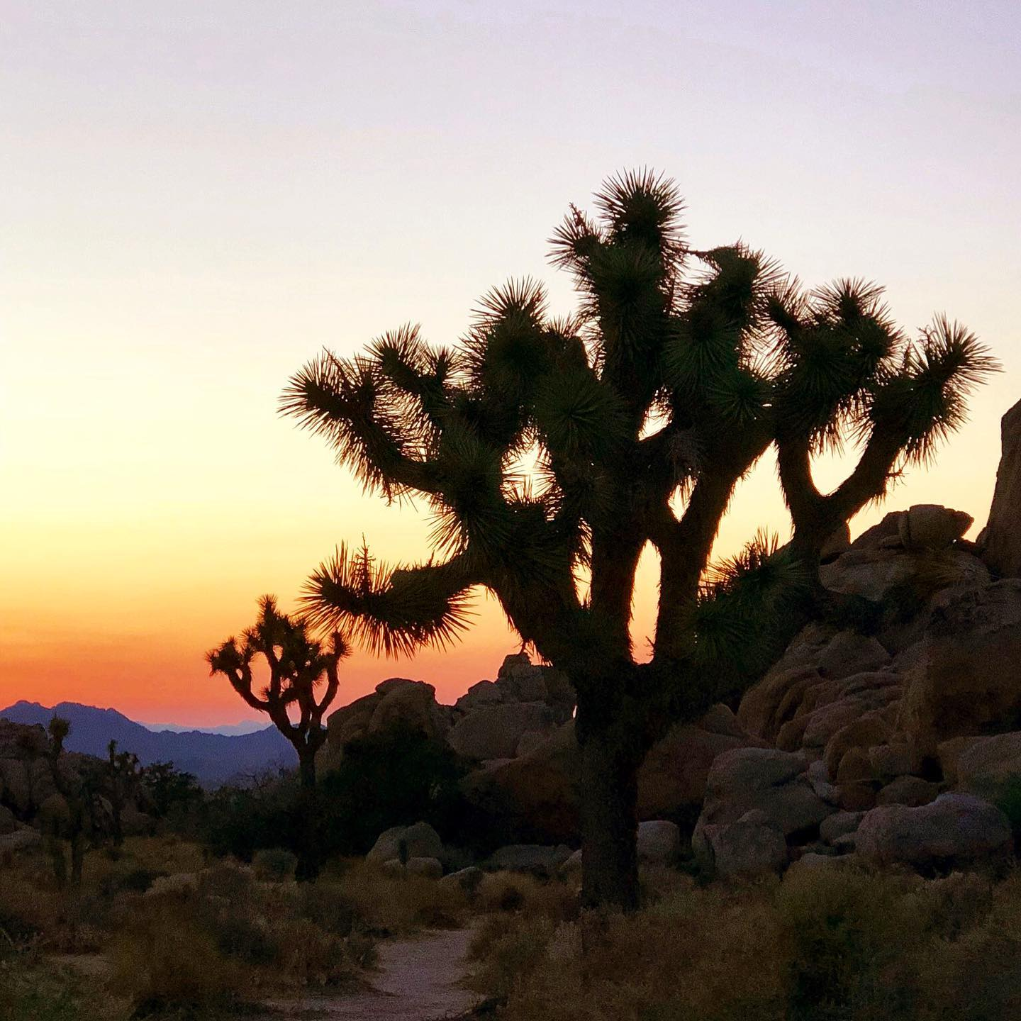 Joshua Tree NP, California Joshua Trees look so pretty at dusk😍  #usa #us #usatravel #usatrip #california #californiatravel #californiatrip #joshuatreenps #joshuatree #joshuatreenationalpark #dusk #naturephotography #naturelove #travelpics #picoftheday #visitcalifornia #desertvibes #desertplants #onlyincalifornia #californiadesert #desert #travelgrams #travelinspiration #travelislife #explorecalifornia #passportpassion #travelmore #travelmoments #travelmemories #travelinbetween